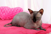 Beautiful gray sphinx cat — Stockfoto