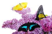 坐在淡紫色的花,白色衬底上分离出的美丽蝴蝶 — 图库照片