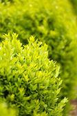 Bush in the garden — Stock Photo