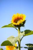 Vacker solros i fältet — Stockfoto
