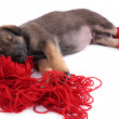 Puppy in red socks sleeping on a hank of red yarn isolated on white — Stock Photo #51273247