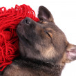 Puppy sleeping on a hank of red yarn isolated on white — Stock Photo #51273251
