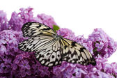 Beautiful butterfly sitting on lilac flowers, isolated on white — Stock Photo
