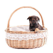 Funny puppy in round braided basket isolated on white — Stock Photo