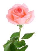 Na białym tle piękny róża — Zdjęcie stockowe