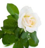 Beautiful rose, isolated on white — Stock Photo