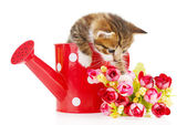 Cute little kitten in watering can isolated on white — Stock Photo