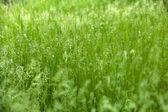 Green grass in field — Stock Photo