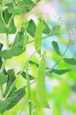 Green peas with leaves, outdoors — Stock Photo