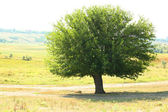 Single big old tree outdoors — Stockfoto