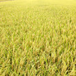 Paddy field — Stock Photo #29814625