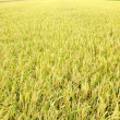 Paddy field — Stock Photo #29814657