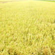 Paddy field — Stock Photo #29814795