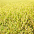 Paddy field — Stock Photo #29814863