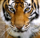 Beautiful tiger cub closeup look formidable — Stock Photo