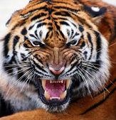 Beautiful tiger cub closeup look formidable — Stock Photo