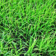 Paddy field — Stock Photo #39591597