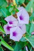 Morning glory flowers — Stock Photo
