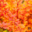 Stock Photo: Orange autumn maple leaf alley