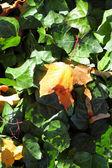 Maple leaves, golden autumn — Stock Photo