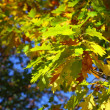 Oak leaves, golden autumn — Foto Stock #14432993