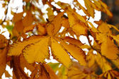 Yellow autumn conker leaf chestnut — Stock Photo