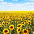 Sunflowers — Stock Photo #14646447