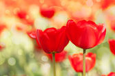 Tulips over blurred background — Stock Photo