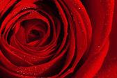 Rode roos — Stockfoto