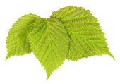 Raspberry leaf — Stock Photo