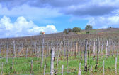 Vineyard in Tokaj — Stock Photo