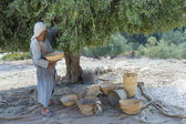 Olive harvest — Stock Photo