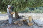 Sklizně oliv — Stock fotografie