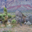 Wild burro — Stock Photo