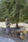 Olive harvest — Stock Photo