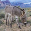 Stock Photo: Wild burros
