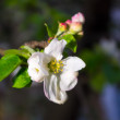 Stock Photo: Spring flower apple tree
