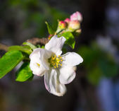 Spring flower apple tree — Stock Photo