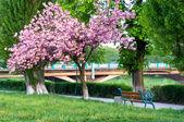 Landskap med blommande körsbärsträd på vattnet — Stockfoto