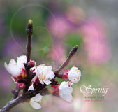 Twig cherry blossom in spring background — Stock Photo