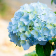 Stock Photo: Blue hydrangea