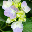 Soft green hydrangea — Stock Photo #27549747