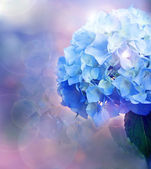Background with hydrangea — Stock Photo