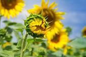 Flor de um girassol — Foto Stock