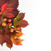 Autumn time: red leaves of wild grapes and apples. — Stock Photo