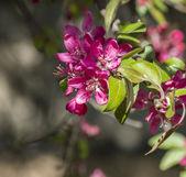 Wild apple flowers — Stock Photo