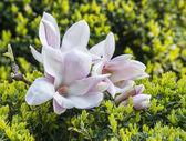 Blooming magnolia tree. — Stock Photo
