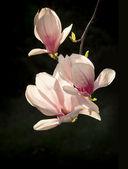 Fiore di magnolia — Foto Stock