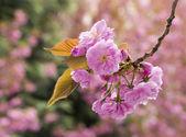 Sakura Cherry blossom — Stock Photo