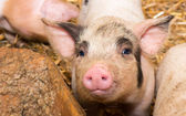 Piglet pig — Stock Photo